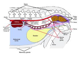 Zdravotní aspekty kastrace fen