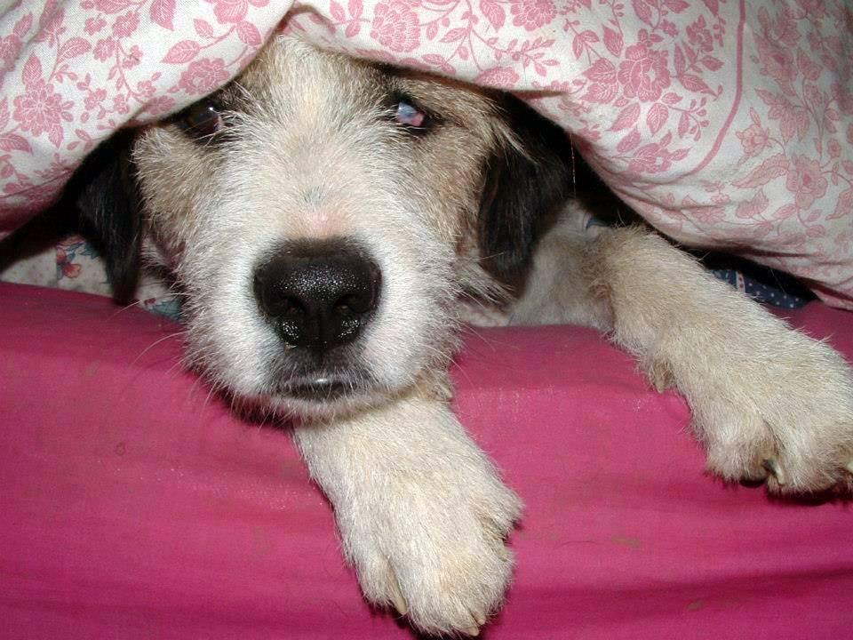 Moko having a sleepy under the blankets