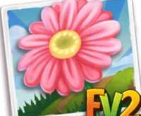 New Crop  Pink Barberton Daisy    (Coming Soon)