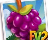 New Crop  Purple Royalty Raspberry  (Coming Soon)