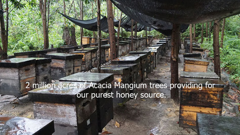 The magic ingredient Borneo Acacia Mangium Honey