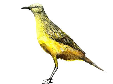 Picabuey (machetornis rixosa)