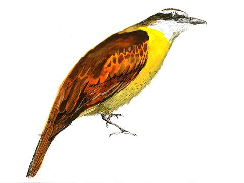 Benteveo (pitangus sulphuratus)