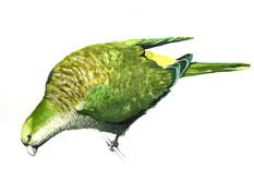 Cotorra (Myiopsitta monachus)
