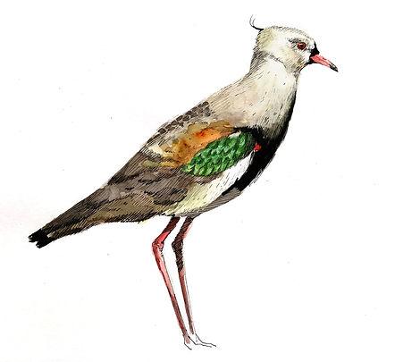 Southern Lapwing (vanellus chilensis).jpg
