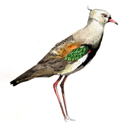Tero común (vanellus chilensis)