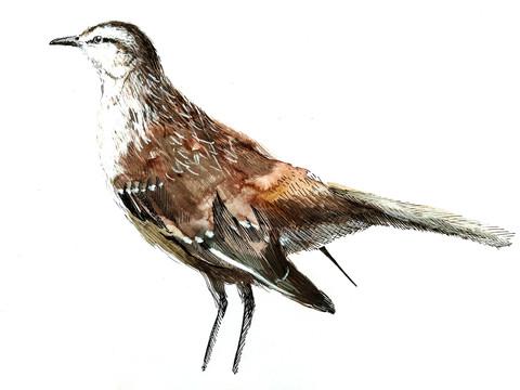 Calandria (mimus saturninus)