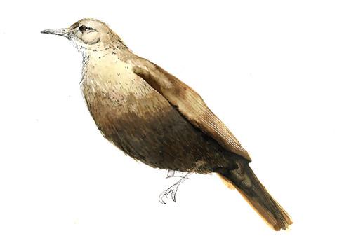 Hornero (Furnarius rufus)