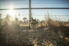 Rex at dawn.jpg