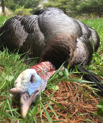 Whitetail Tactics & Turkey Success