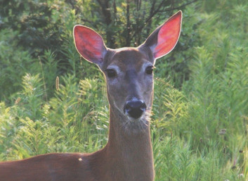 How Whitetail Deer Really Hear (and why it should change the way we hunt!)