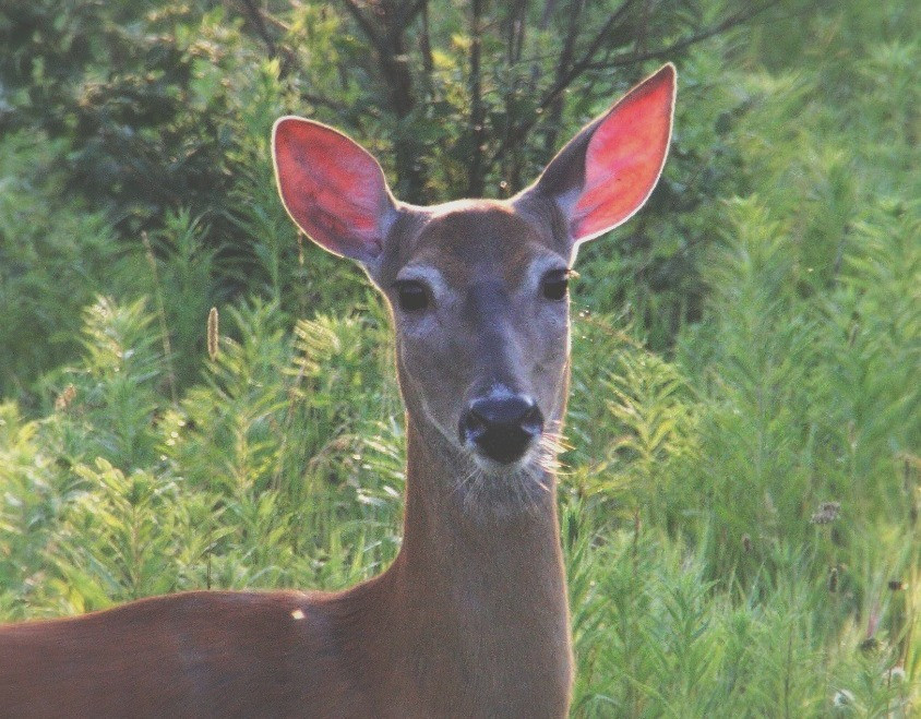 How whitetail deer really hear-and why it should change the way you hunt