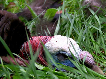 3 Tips for Hunting High-Pressure Turkey that Won't Respond to Calls