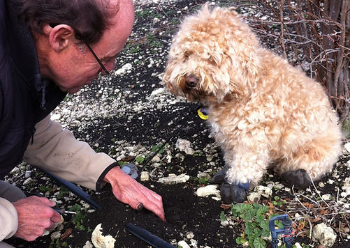 Sophie - looks cute and fluffy but a demon at finding ripe Périgord Black Truffles.