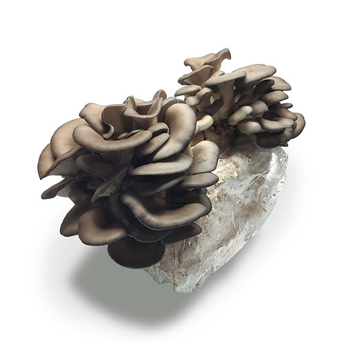 Blue Oyster Mushroom Kit (National Delivery Only)