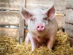 Estrés, pH y calidad de carne en cerdo