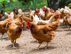 Gripe aviar, confinamiento y estrés