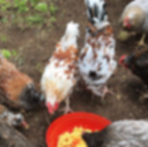Pyle and hysterical calico roosters