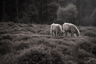 highland cattle B&W