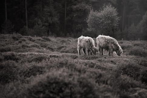 highland cattle B&W