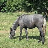 lipizzaner-young-animal-horse-stud.jpg