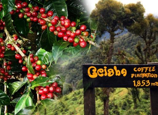 Geisha Kaffee - exotische Luxus Sorte aus Boquete, Panama!