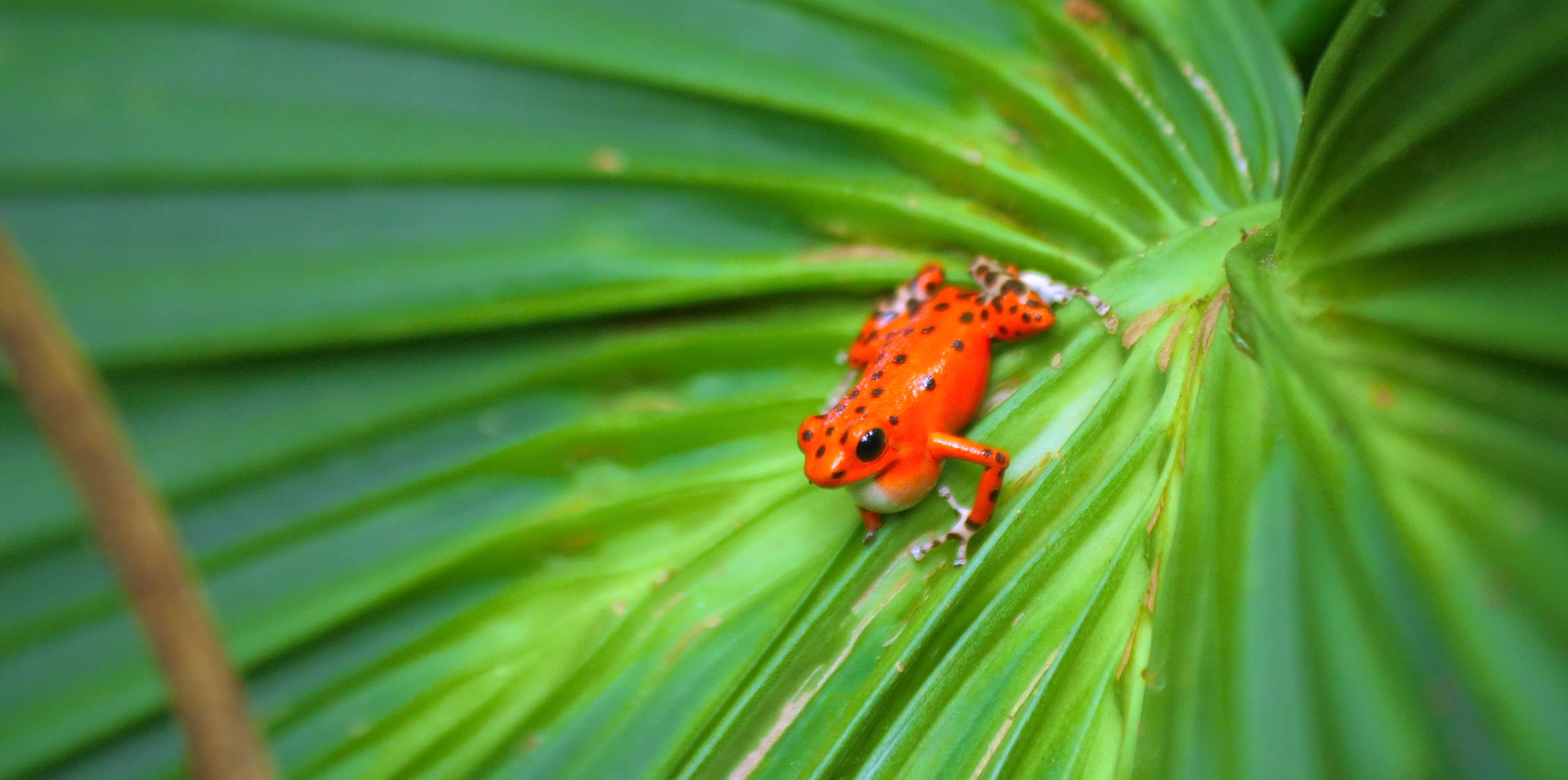 red-frog-bocas-del-toro