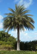 Sylvester Palm.png