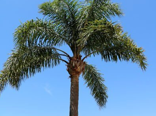 Queen Palm.png
