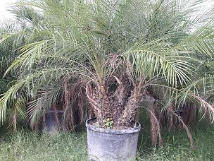 roebelenii palm.jpeg