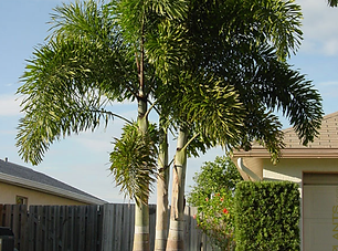 Foxtail palm.png