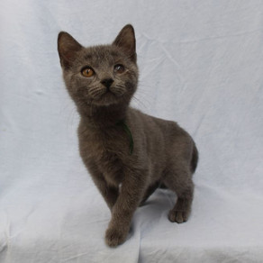 Silver Star - Chartreux (particularité)