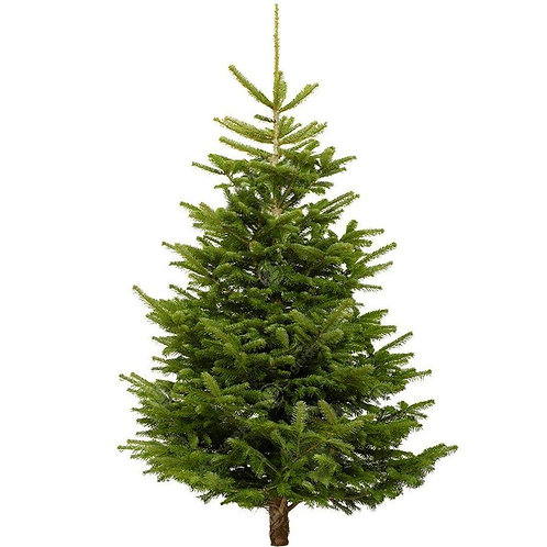 Nordmann Fir 5ft 7 - 6ft 5