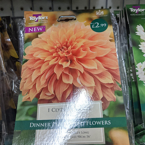 1 DAHLIA CLYDES CHOICE I