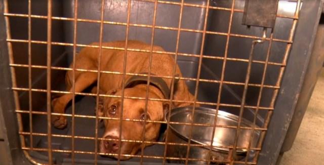 Cachorro da raça pitbull encontrado em rinha de cães ilegal em Mairiporã, Grande São Paulo — Foto: Reprodução/TV Globo