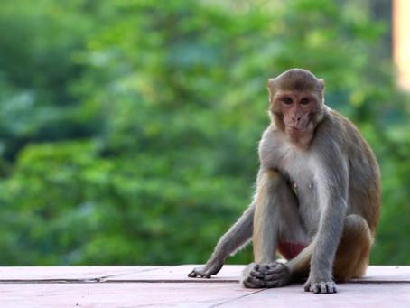 Antiviral em teste detém avanço da Covid-19 em macacos
