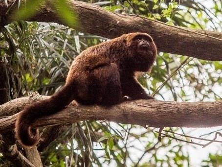 Sobe para 83 o número de mortes de macacos causadas por febre amarela no Paraná, diz Sesa