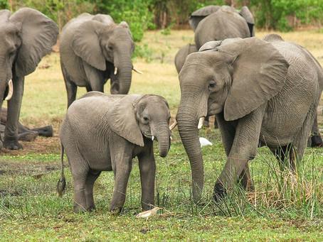 Covid-19: Índia testa 28 elefantes após morte de leoa atribuída ao coronavírus