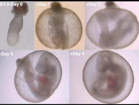 Cientistas desenvolvem embriões de camundongos em útero mecânico