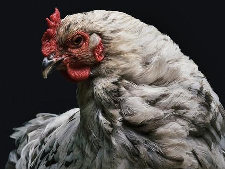 As galinhas que ajudam a desenvolver remédios de combate ao câncer