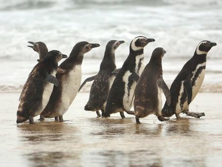 Pinguins são soltos em praia de Florianópolis após passarem por reabilitação