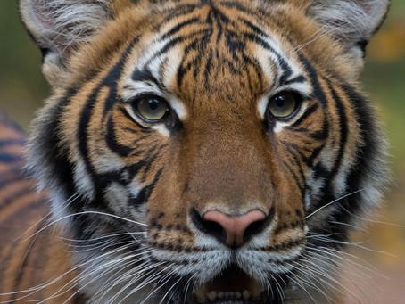 Tigre tem teste positivo para coronavírus em zoológico de Nova York