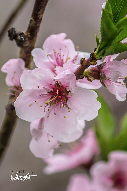 Peach Blossoms II