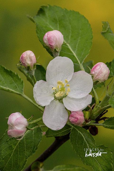 Apple Blossoms V