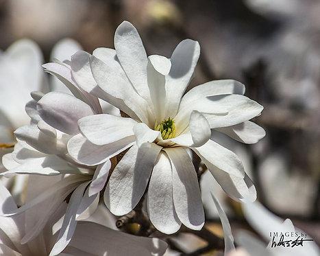 White Star Magnolia