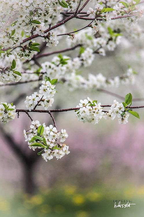 Cherry Pastel