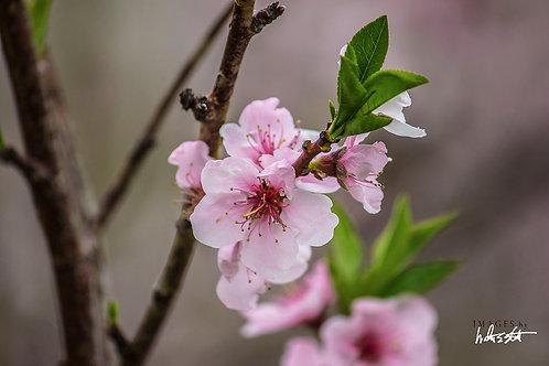 Peach Blossoms IV