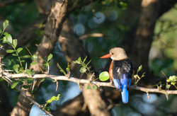 Grey-Capped Kingfisher