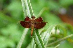 Dragonfly - Potent Symbol of Happiness