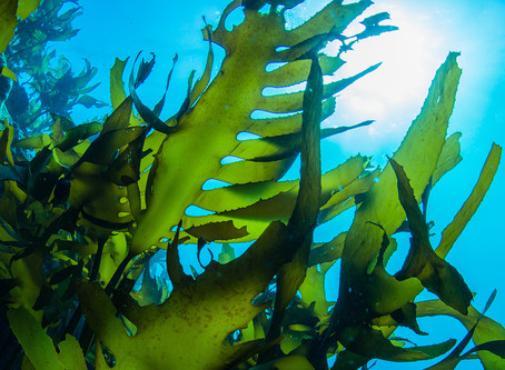 What Does Kelp Do For The Skin?